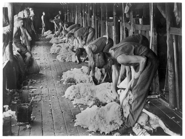 Shearing sheep, Barcaldine District, c 1948