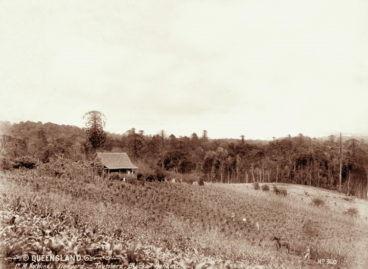 C M Nothling's vineyard and shingle roof cottage at Teutoberg, Blackall Range, c1899
